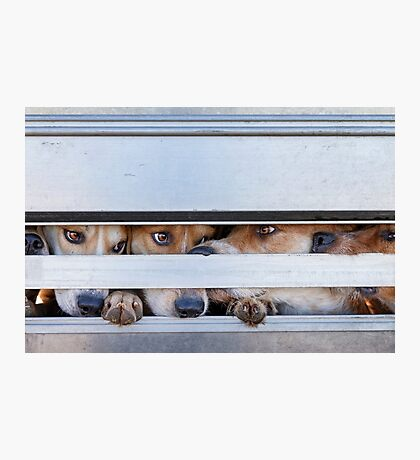 Foxhounds looking out of trailer Photographic Print