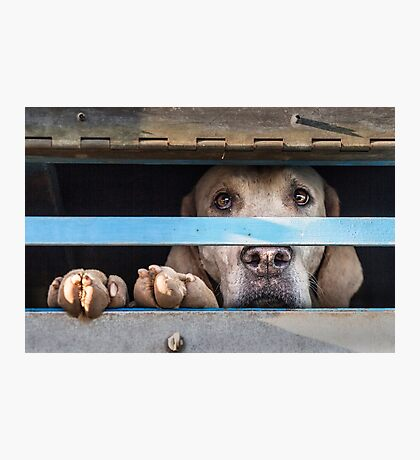 Foxhound looking out of trailer Photographic Print