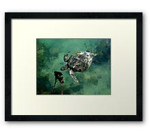Galapagos Green Sea Turtle Framed Print