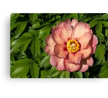 Exotic Beauty - Unusual Peony Basking in the Sunshine Canvas Print