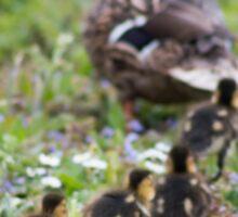 A line of Mallard ducklings following their mother Sticker