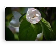 Quince Blossoms Canvas Print