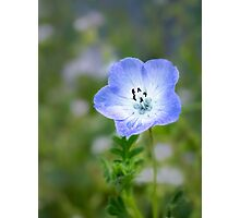 Baby blue eyes (Nemophila menziesii) Photographic Print