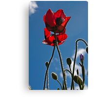 Poppies In Late Afternoon Canvas Print