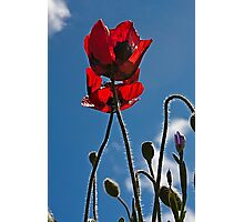Poppies In Late Afternoon Photographic Print