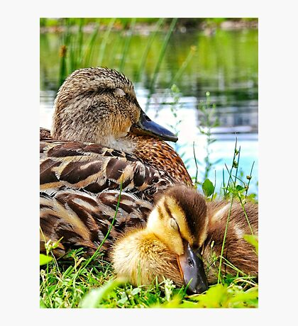 Sleepy Duckling Cuddling with Mom Photographic Print