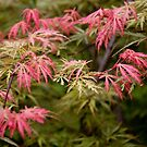 JAPANESE MAPLE by Pauline Evans