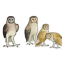 Giant barn owls from various islands Photographic Print