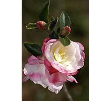 Camellias in May Photographic Print