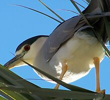 Black-Crowned Night Heron by RichImage