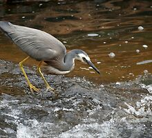White-faced Heron Fishing by Martin Pot