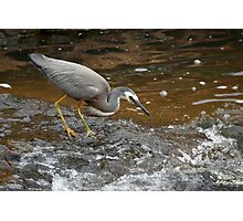 White-faced Heron Fishing Photographic Print