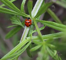 Lady Beetle by Phyxius