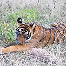 Young Bengal Tiger  by Carole-Anne