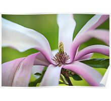 Magnolia Flower Abstract Poster