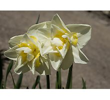 Pastel Yellow Spring - a Pair of Double Daffodils Photographic Print