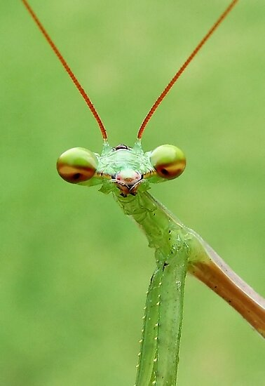 Praying Mantis by Macky