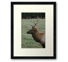 Cataloochee Elk bull Framed Print