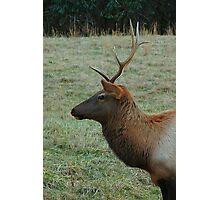 Cataloochee Elk bull Photographic Print