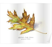 Early Autumn Oak Poster