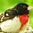 Mister Grosbeak  by lorilee
