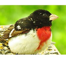 Mister Grosbeak  Photographic Print