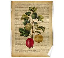 Botanical print, on old book page - gooseberry Poster