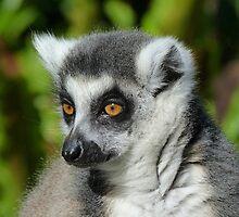 Ring-tailed Lemur In Sunshine by Margaret Saheed