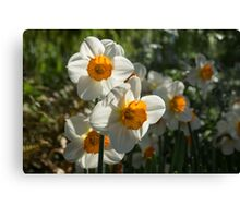 Sunny Side Up - Daffodils Blooming in a Fabulous Spring Garden Canvas Print