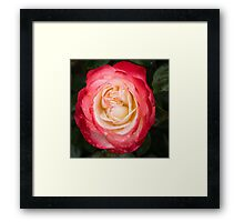 Rose and Rain - Pinks and Creams and Whites Framed Print