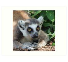 Ring-tailed Lemur Relaxing Art Print