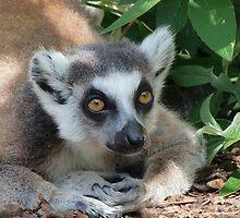 Ring-tailed Lemur Relaxing by Margaret Saheed