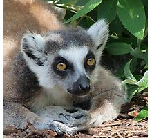 Ring-tailed Lemur Relaxing Photographic Print