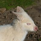 Albino Wallaby enjoying sunshine. by Trish Meyer