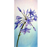 Agapanthus Flower Photographic Print