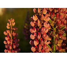 Hot Pink Lupines From My Mother's Garden - Take 2 Photographic Print