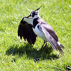 Lapwing by mikebov