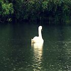Swan heading for shelter from the rain by widdy170