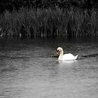 Beautiful swan on spring wet morning by widdy170