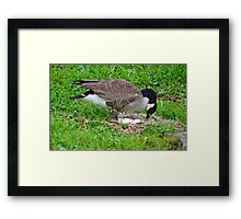Mother Goose With Eggs in Nest Framed Print