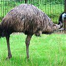 Emu by AnnDixon