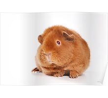 Sweet red guinea pig Poster