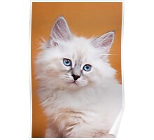 Lovely fluffy kitten charming Siberian cat Poster