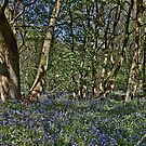 Bluebells in the woods by Avril Harris