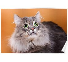 Charming fluffy kitten Siberian cat Poster