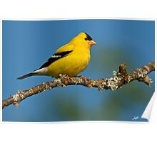 American Goldfinch Perched in a Tree Poster