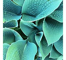 Hosta Photographic Print