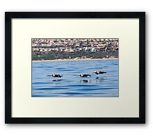 Pelican low over the water Framed Print