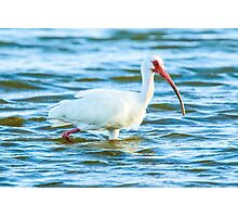 Ibis at Fort De Soto State Park Photographic Print