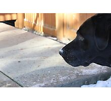 Black Lab In The Snow Photographic Print